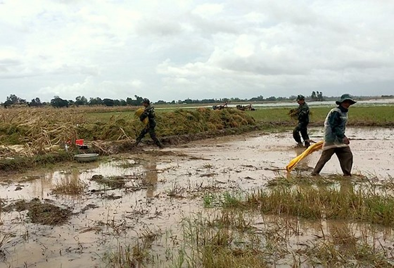 Mekong farmers urged summer-autumn rice harvest ảnh 3