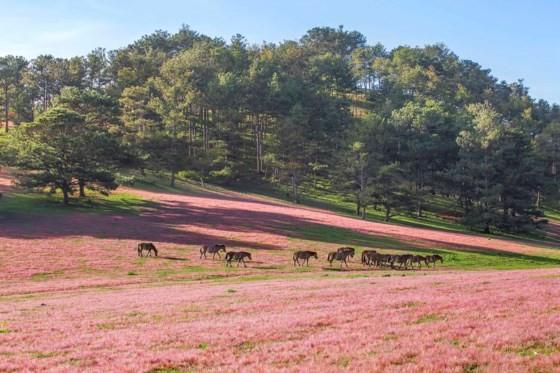 Đà Lạt - Thảo nguyên cỏ hồng ảnh 8