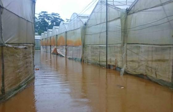 Downpour destroys vegetable & flower crops in Da Lat ảnh 3