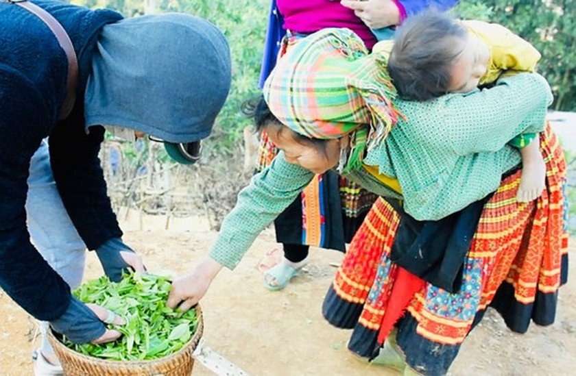 Ancient Shan Tuyet tea flavor attracts visitors to Son La province ảnh 1
