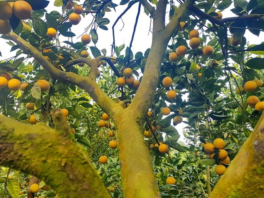 Orange orchards laden with fruits wait for Tet sale ảnh 1