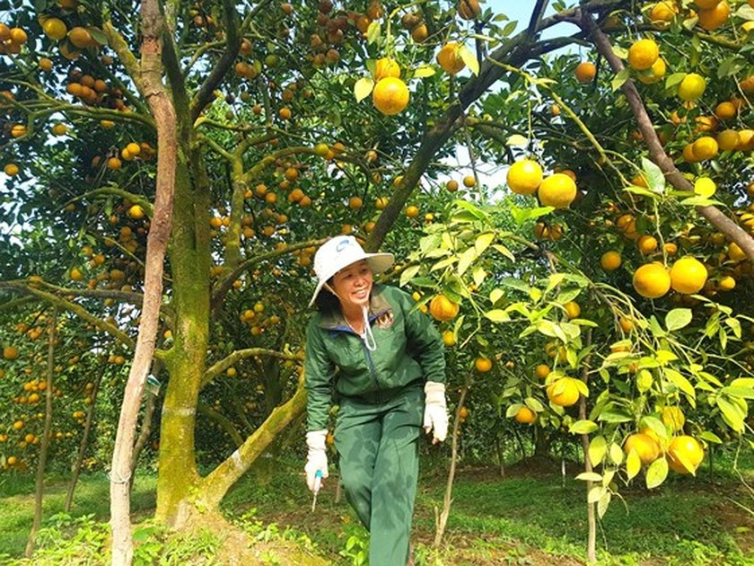 Orange orchards laden with fruits wait for Tet sale ảnh 2