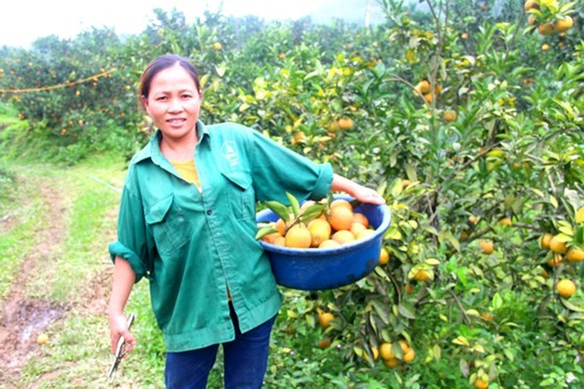 Orange orchards laden with fruits wait for Tet sale ảnh 3