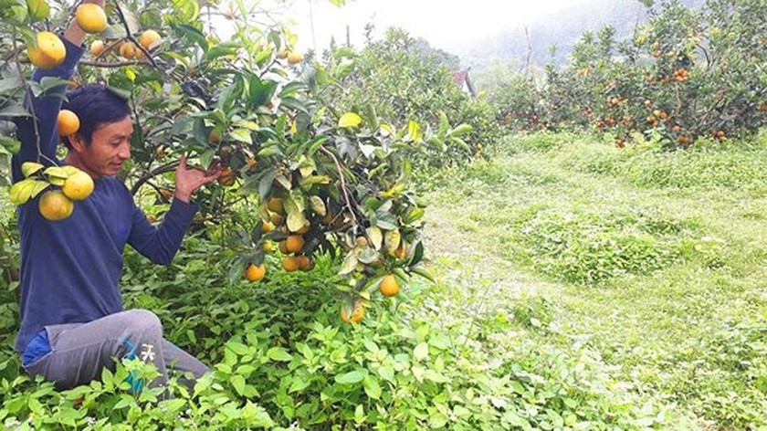 Orange orchards laden with fruits wait for Tet sale ảnh 6