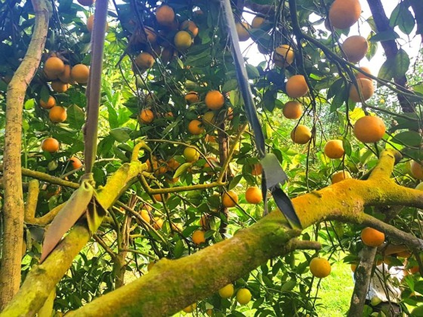 Orange orchards laden with fruits wait for Tet sale ảnh 7