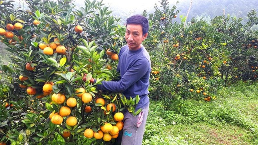Orange orchards laden with fruits wait for Tet sale ảnh 8