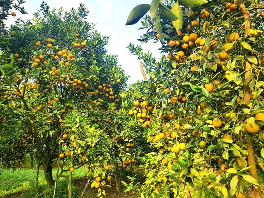 Orange orchards laden with fruits wait for Tet sale ảnh 9