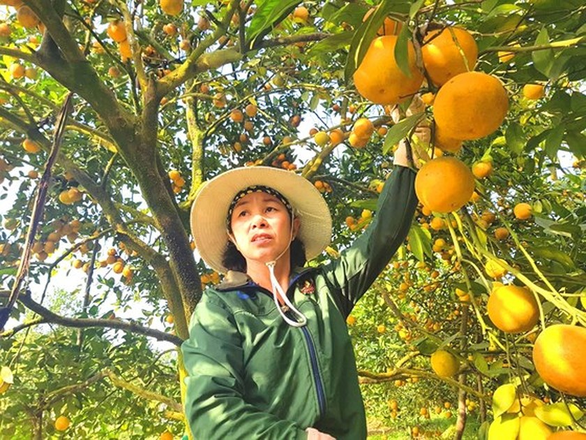 Orange orchards laden with fruits wait for Tet sale ảnh 10