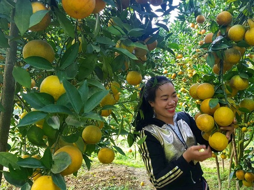 Orange orchards laden with fruits wait for Tet sale ảnh 11
