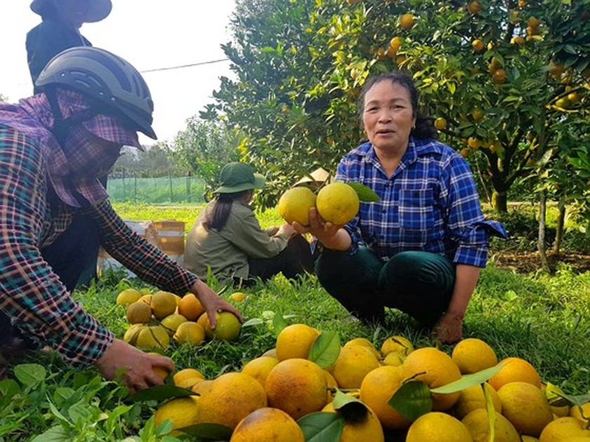 Orange orchards laden with fruits wait for Tet sale ảnh 12