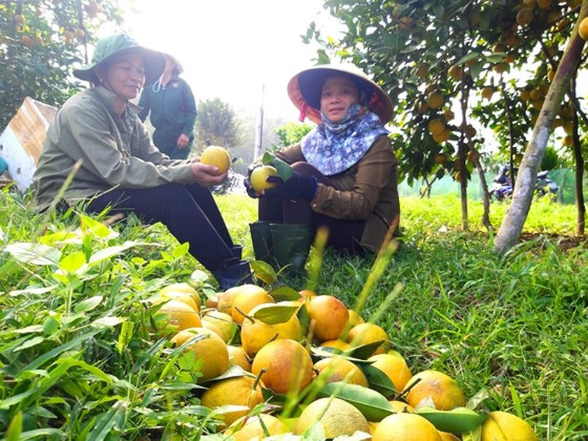 Orange orchards laden with fruits wait for Tet sale ảnh 13