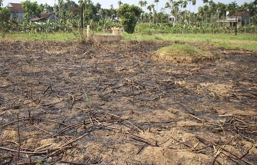Farmers burn down sugarcane fields due to low price ảnh 3