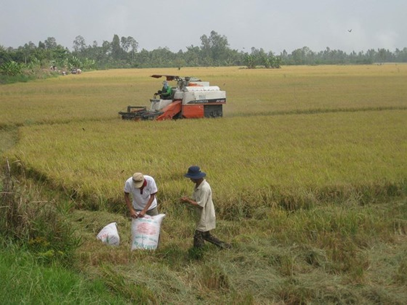 Paddy prices edge up in Mekong Delta provinces ảnh 1