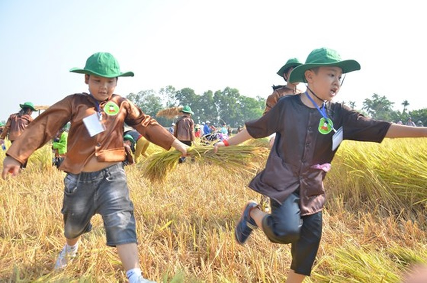 Hundreds of little farmers harvest rice in Quang Ngai province ảnh 1