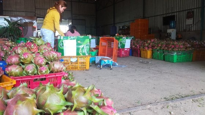 Dragon fruit price plunges after hitting record high in Binh Thuan province ảnh 1