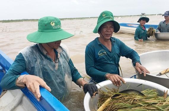 Mekong farmers urged summer-autumn rice harvest ảnh 1