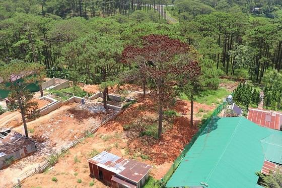 Hàng loạt cây thông ở Đà Lạt bị 'bức tử' trong khu dân cư ảnh 6