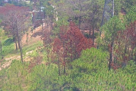 Hàng loạt cây thông ở Đà Lạt bị 'bức tử' trong khu dân cư ảnh 8