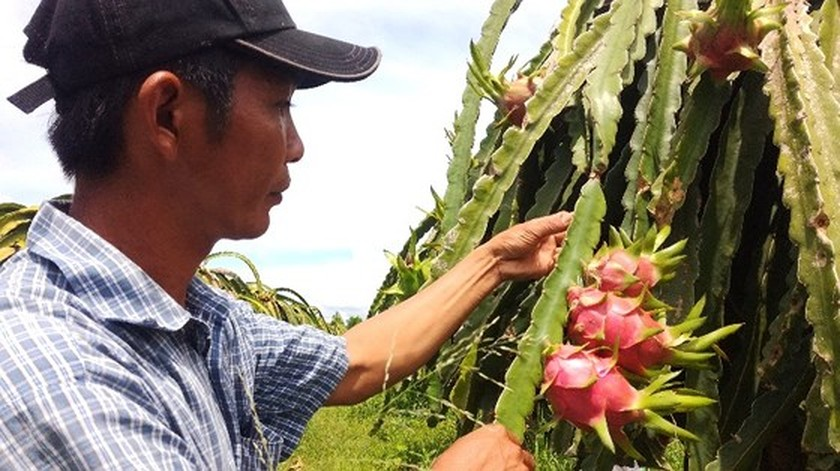 Scarcity causes dragon fruit price to make new record ảnh 2