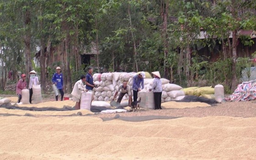 Mekong Delta farmers suffer rice crop failure, low price ảnh 1