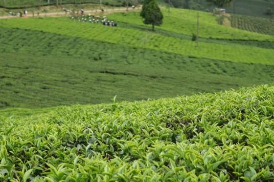 Khám phá vùng trà gần 100 năm ở Đà Lạt ảnh 4