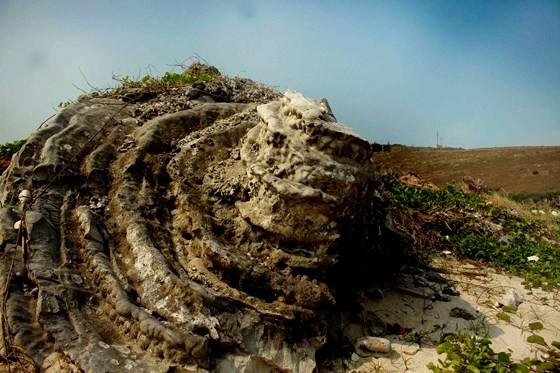 Vẻ đẹp san hô hóa thạch hoa hồng ngàn năm đảo Lý Sơn ảnh 6