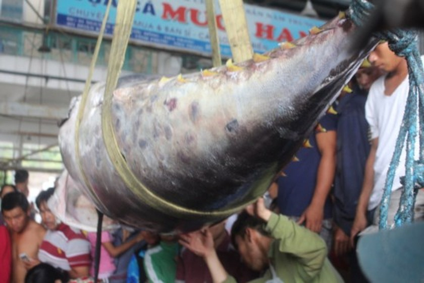 Giant pacific bluefin tuna set Vietnam record  ảnh 1