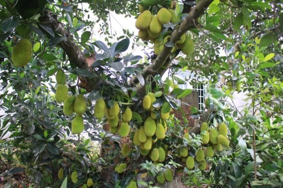 Jackfruit tree bears 500 fruits ảnh 1