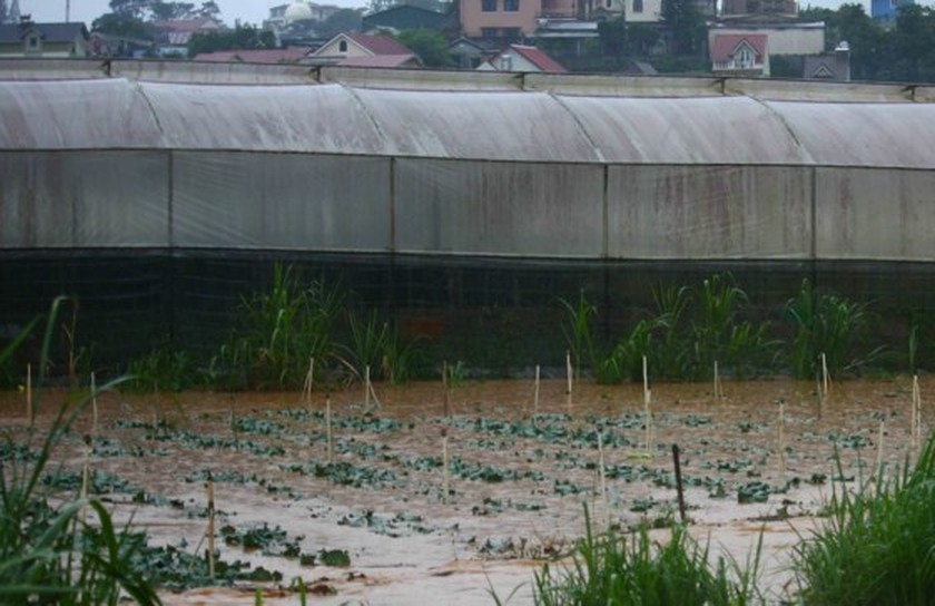 Downpour destroys vegetable & flower crops in Da Lat ảnh 2