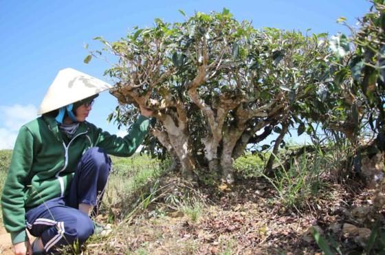 Khám phá vùng trà gần 100 năm ở Đà Lạt ảnh 9