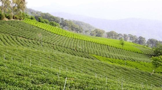 Khám phá vùng trà gần 100 năm ở Đà Lạt ảnh 2