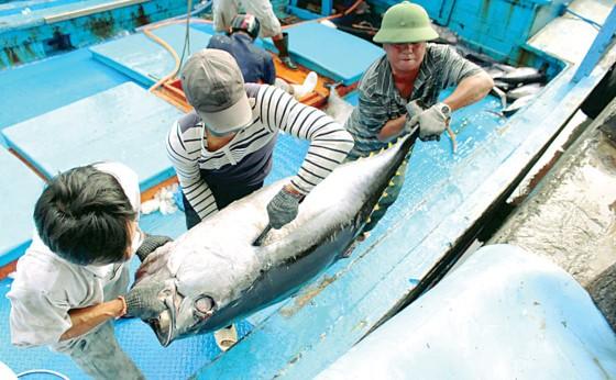 Khanh Hoa fishermen enjoy bumper catch ảnh 4